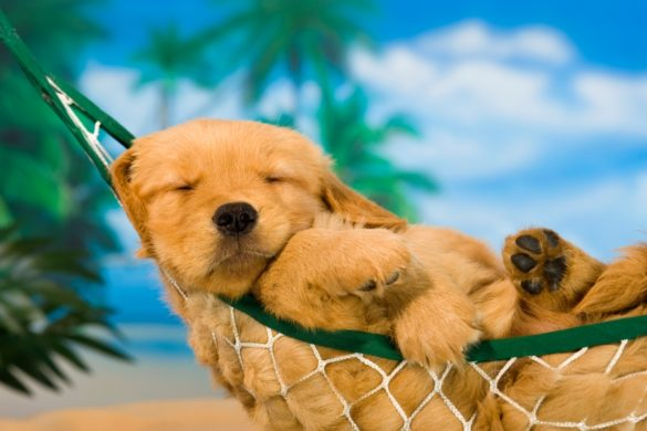 H17a-Canada-Dog-days-of-summer-puppy-in-hammock-Charles-Mann